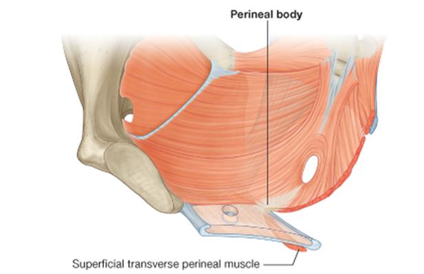 Anatomy of perineum