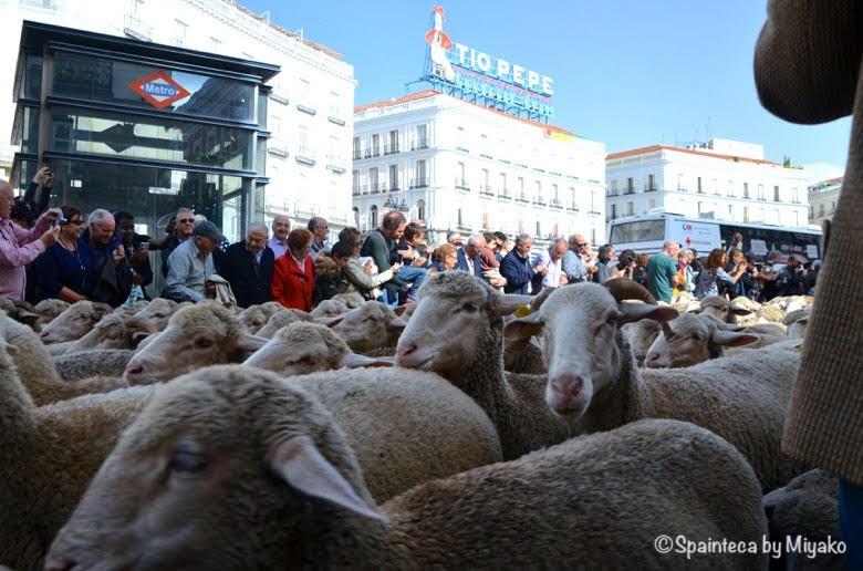 Fiesta de la Trashumancia Madrid  マドリードのソルソル広場と愛くるしい羊の群れ