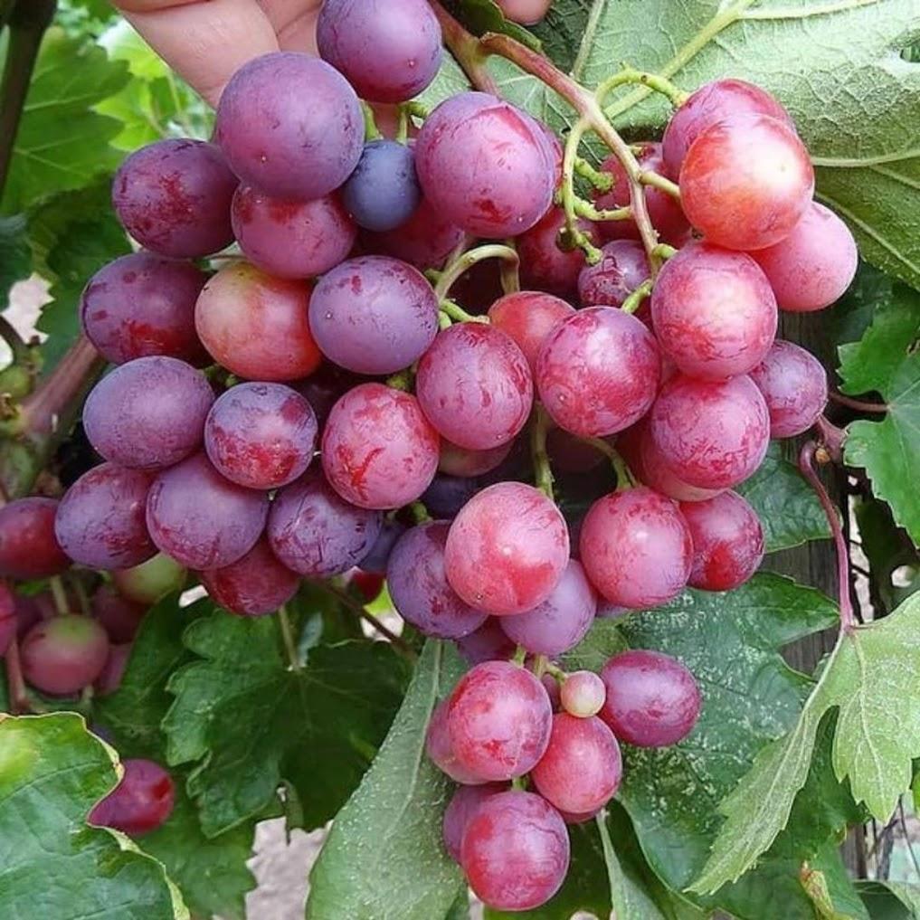 Bibit Buah anggur import jenis Velles Siap Berbuah Langsa