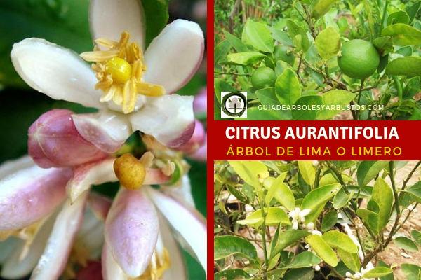 El Citrus aurantifolia es un árbol bastante fácil en cuidados y en su cultivo, incluso lo podemos cultivar en Macetas.