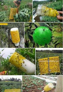lem untuk lalat buah, metilat lem nasa