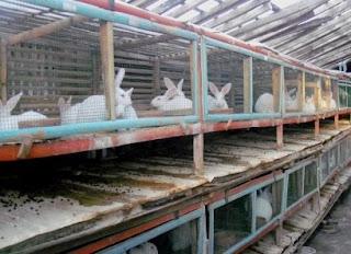 ternak kelinci sistem modern