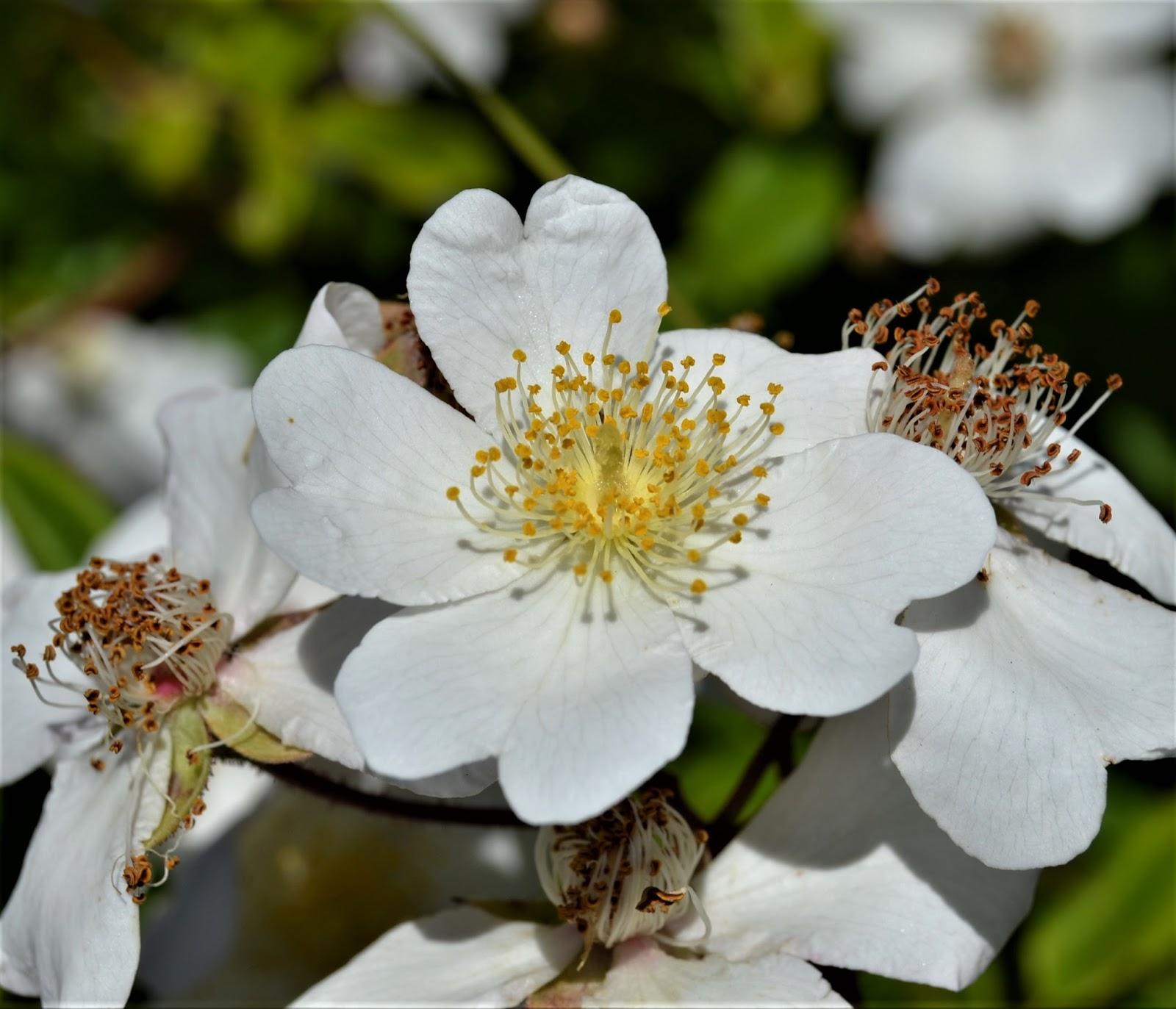Plantas beleza e diversidade roseira brava rosa for Pianta rosa