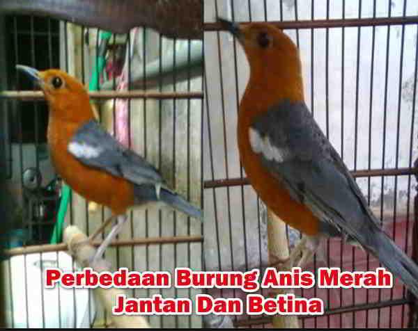 Perbedaan Burung Anis Merah Jantan Dan Betina