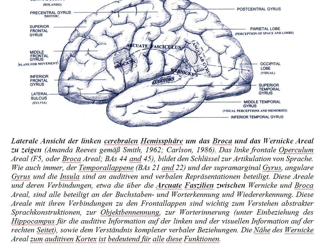 Schön Temporallappen Anatomie Ideen - Anatomie Ideen - finotti.info