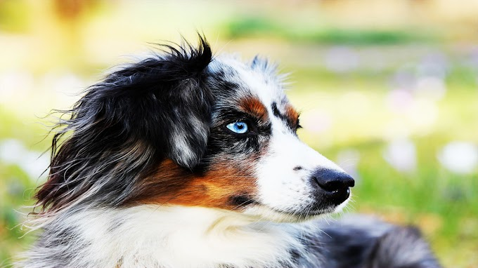 8 conseils pour adopter un berger australien