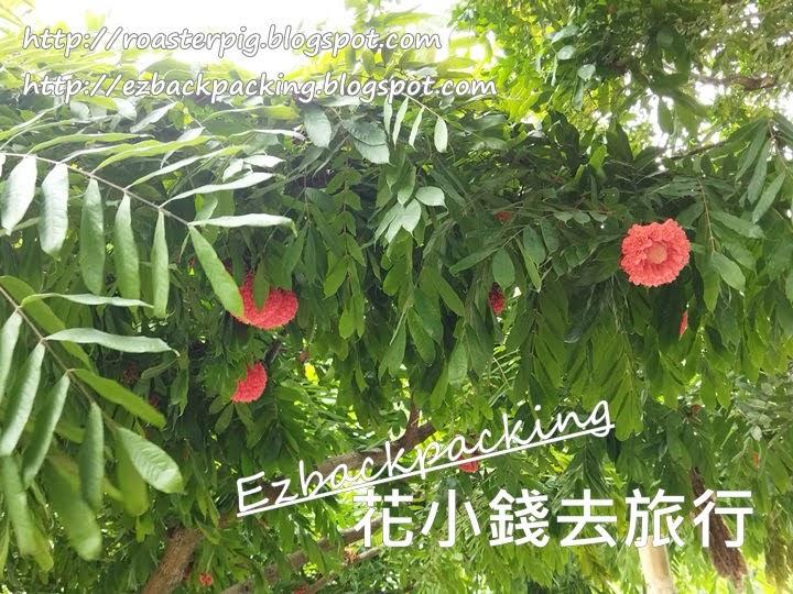 香港繡球樹2021