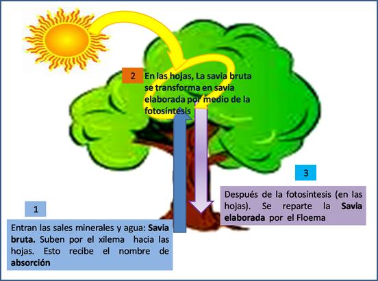 Mis temas de biologia sistema circulatorio de plantas for Porque son importantes los arboles wikipedia