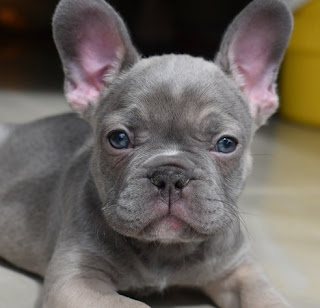 September 2018 French Bulldog Puppies For Sale