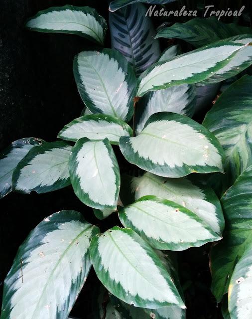 Planta Calathea picturata