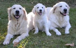 كلاب جولدن ابيض