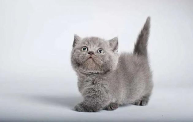 قط مانشكين