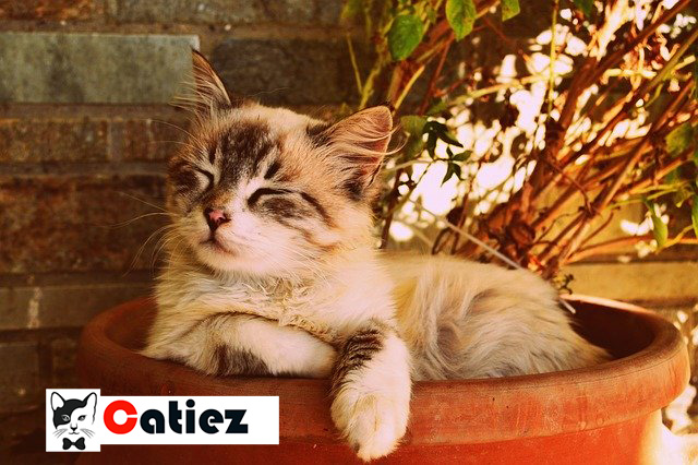 hypoallergenic cats - What are the Best Hypoallergenic Cat ?