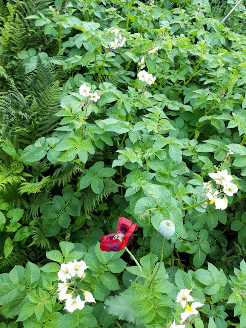 A vegetable patch full of potato plants: green leaves with white and orange flowers.  There is a crimson poppy flower in the foreground