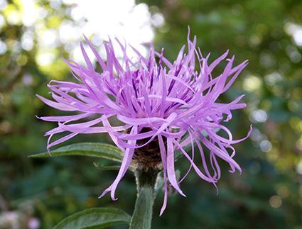 Centaurea negra (Centaurea nigra) flor silvestre violeta