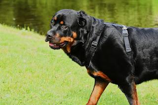 الروت وايلر Rottweiler