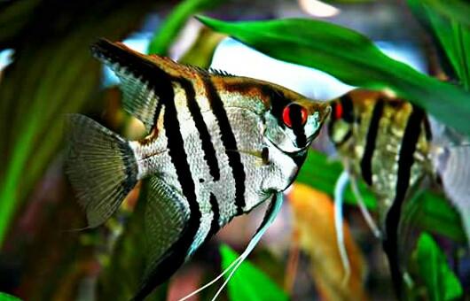 10 Jenis Ikan Manfish Paling Populer Dan Harganya Terbaru Hobinatang