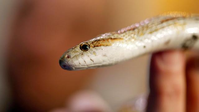 benua antartika bebas ular