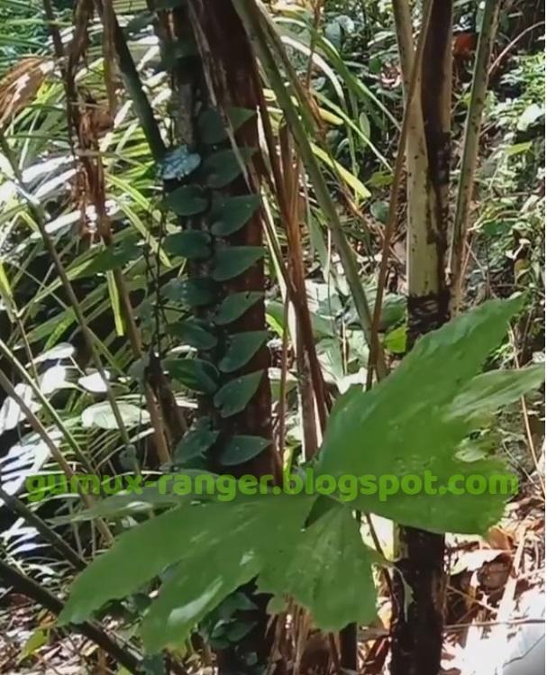 Pohon Sarai atau Suwangkung