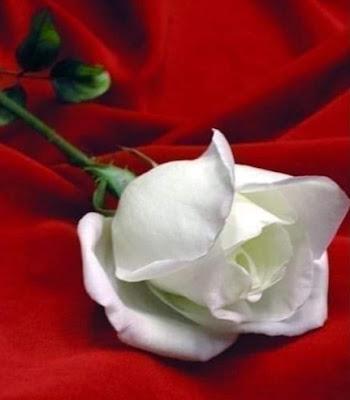 قصائد واشعار للمبدع متولي عيسي عيونِ حبيبتي  - الورده تفتحت وأينعت ولكن  - ورق  ورق