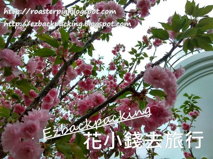 南區八重櫻盛開和香港花展園圃2021