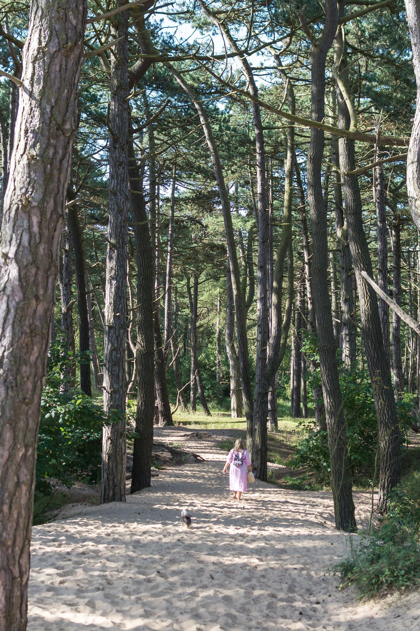 Pine tree woodland on a beach