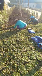 Penjual rumput taman blitar termurah ( foto kerja terbaru kami ) tahun 2021