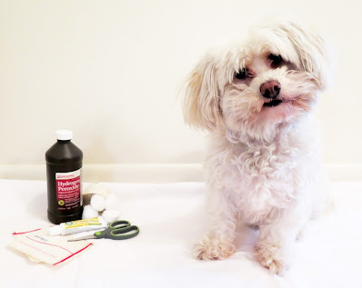 Anaplasmosis, or Tick Fever in dogs is easily treated with antibiotics, but early treatment is key