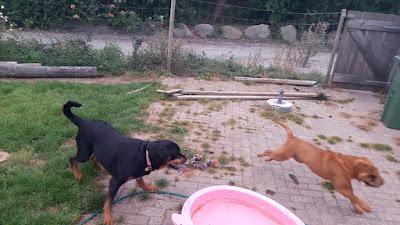 SharPei Rottweiler Mix Temperament, Size, Lifespan, Adoption