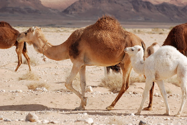 Camelus dromaderius
