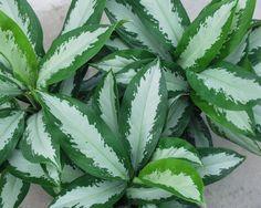 Especie Aglaonema siamense. Hojas variegadas verdes y blancas