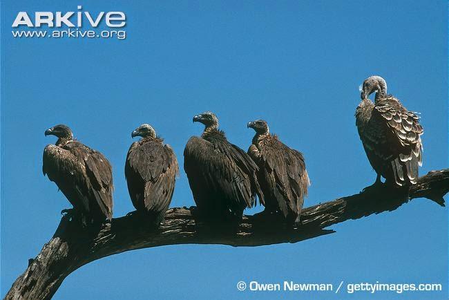 behavior between africans vultures