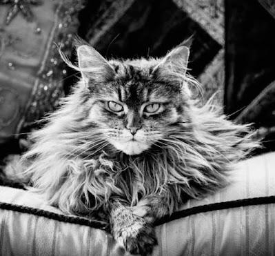 Sejarah Ras Kucing Mainecoon