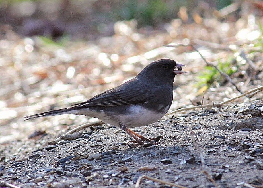 Red House Garden: Common Backyard Birds of the Eastern US