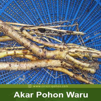 ciri ciri pohon akar waru
