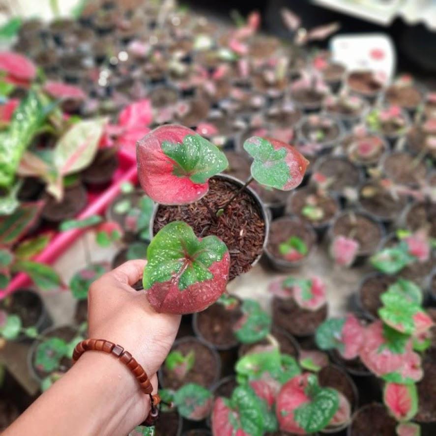 Tanaman Hias Caladium Baret Merah murah bibit keladi baret Jayapura