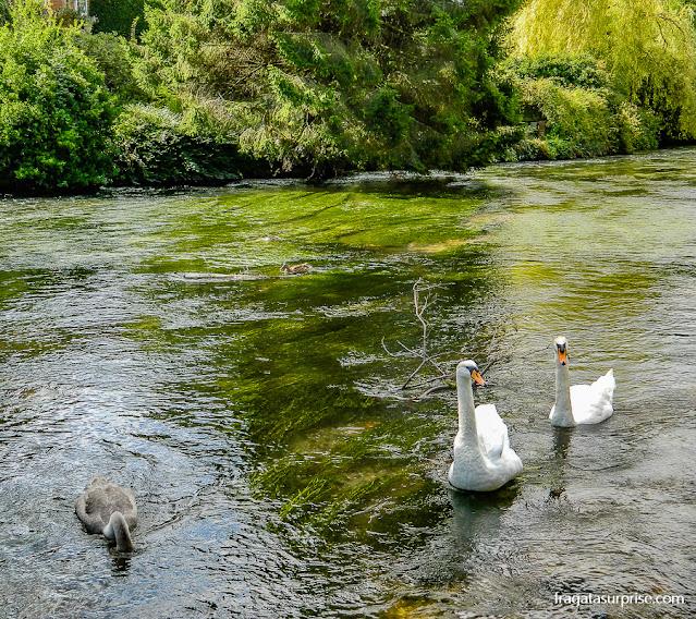 Patos e cisnes nadam no Rio Itchen em Winchester