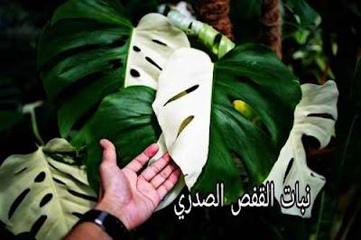 ما هو نبات القفص الصدري مونستيرا