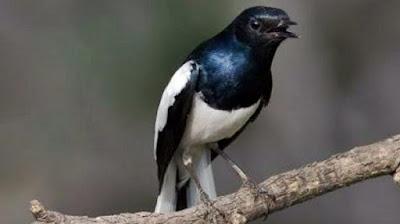 Gambar burung kacer poci (Sumatera)