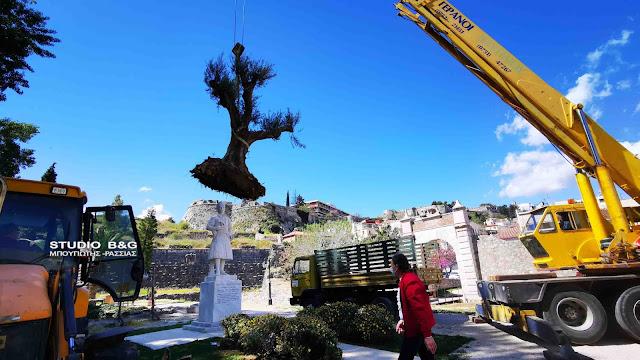 Υπεραιωνόβιες ελιές τοποθετήθηκαν στο Ναύπλιο (βίντεο)