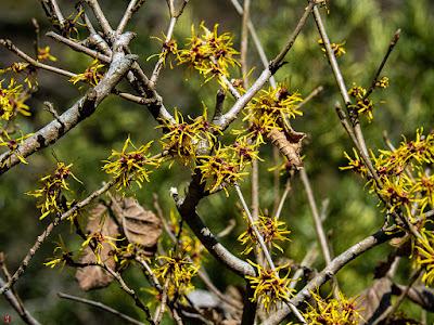 Mansaku (Hamamelis japonica) flowers: Engaku-ji