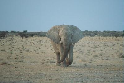 elephant, desert, botswana
