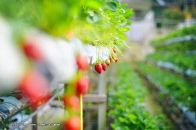 kebun strawberry di genting highlands