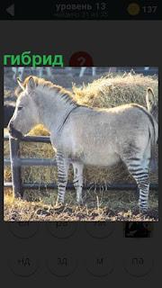 Около стога сена стоит животное , гибрид зебры и лошади