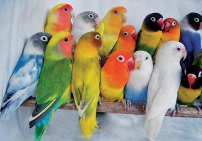 Mengetahui Kelebihan Dan Kekurangan Lovebird Paruh Putih/Paruh Merah