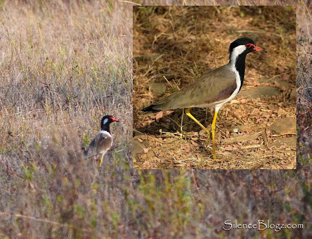 Red-wattled Lapwing - millennium park