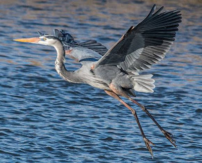 Heron - Animals That Start With H