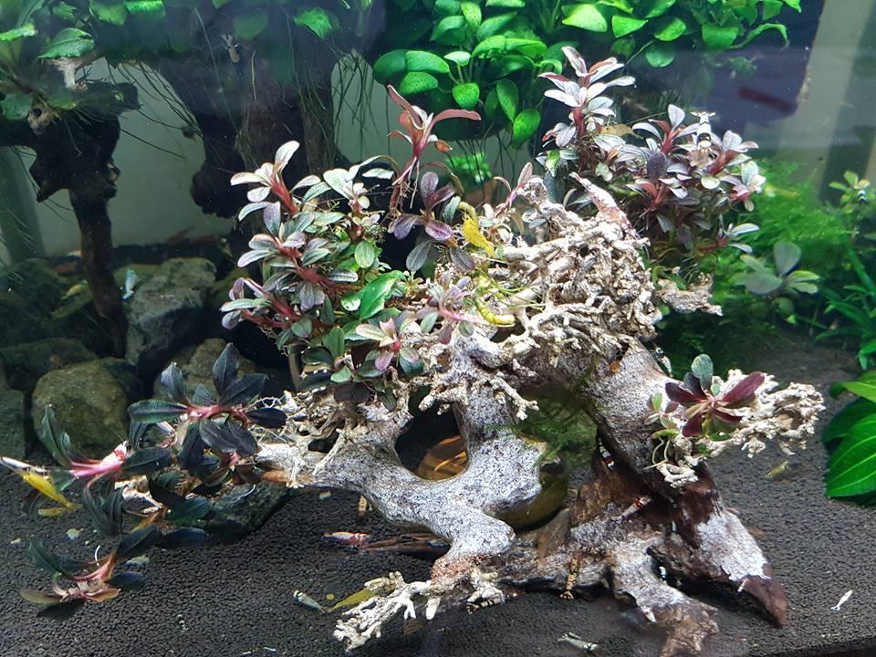 Cây bon sai ghép bucep trong hồ thủy sinh