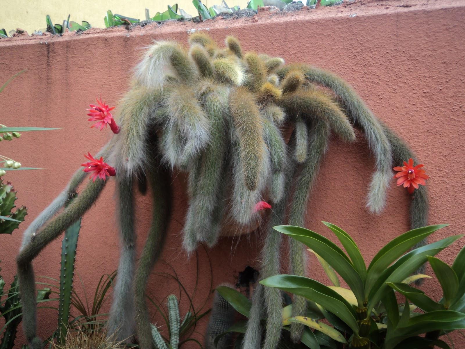 69c3e9e8b Todo dia é dia de jardinar  Cacto rabo de macaco e dá-lhe flores