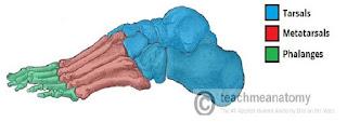 bentuk samping tulang kaki manusia